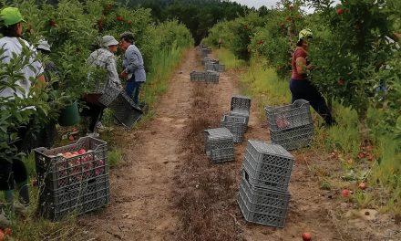 Apanha da fruta mobiliza milhares de pessoas
