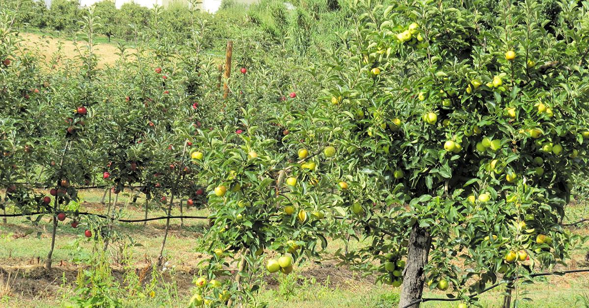 Produção de maçã e pêra com quebra devido às condições climatéricas