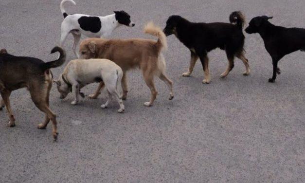 Cães vadios preocupam Alqueidão da Serra