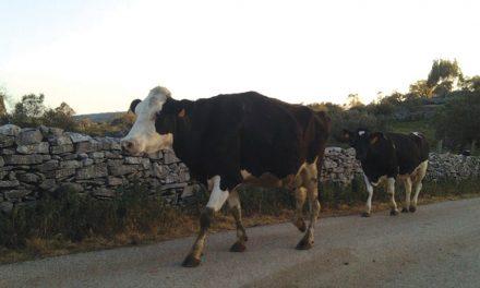 Junta de Serro Ventoso apoia agricultores que tenham animais em regime de pastorícia